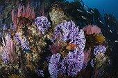 Red Gorgonian  and purple California Hydrocoral - California