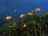 Garibaldis over Southern Sea Palm Kelp - California