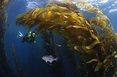Scuba diver in Giant Kelp forest with Halfmoon - California