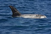 Risso dolphin at surface - Channel Islands California
