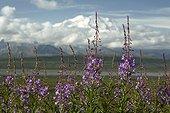 Willowherb flowers tundra - Denali NP Alaska