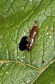Earwig on leaf - Denmark