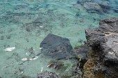Common Stingray  - Tahiti French Polynesia