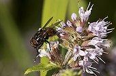 Graphomyie tachetée mâle sur fleurs - Danemark