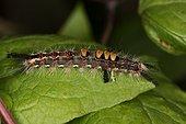 Rusty Tussock Moth larva on leaf - Denmark