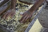 Manufacture of Cassava flour - Amapa Brazil Amazon  ; Sifting flour before cooking cassava<br>People ribeirinhos