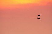 White Stilt in a coastal marsh at dawn - France