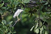 Black-crowned night-heron on a branch - Indonesia