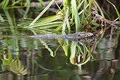 Asian water monitor lizard swimming - Borneo Indonesia