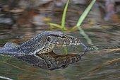 Asian water monitor lizard in water - Borneo Indonesia