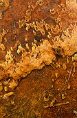 Cyanobacteria in geothermal area - Yellowstone USA
