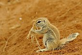 Young South African Ground Squirrel and dry grass - Namibia