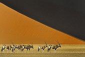 Gemsbok before a dune - Namib Desert Namibia