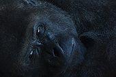 Portrait of Western Lowland Gorilla