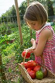 Little girl harvesting tomatoes in a kitchen garden