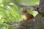 Eurasian Red Squirrel looks out from behind a pine stump