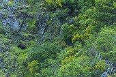 Brown Bear on cliff - Asturias Spain