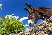 Ass behind a wall - Ambroz Valley Extremadura Spain ; Land Granadilla