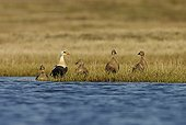 King Eider breeding male with females on bank - Alaska