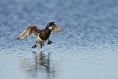 Long-tailed Duck breeding male landing on arctic pond-Alaska