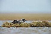 Pacific Loon breeding female on nest - Alaska
