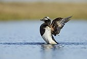 Long-tailed Duck breeding male wing-flapping - Alaska