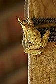 Asian Brown Treefrog inside a house - Bali Indonésia