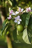 Apple tree in bloom and fruit in a garden