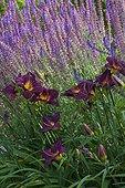 Sage flowerbed at Jardins fruitiers de Laquenexy ; Le jardin des fleurs à croquer