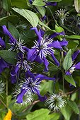 Clematis 'Rubens Superba' at Jardins fruitiers de Laquenexy ; Le tunnel des courges