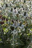 Eryngos at Jardins fruitiers de Laquenexy ; Le jardin des sens