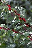 Rose-tree winged thorns at Jardins fruitiers de Laquenexy ; Le jardin des sens