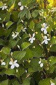 Chameleon plant at Jardins fruitiers de Laquenexy ; Le potager d'un curieux