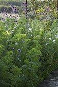 Purpletop vervain at Jardins fruitiers de Laquenexy ; Le potager d'un curieux