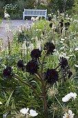 Aeonium at Jardins fruitiers de Laquenexy ; Le jardin des sens