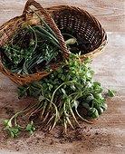 Harvest of purslane in a kitchen garden