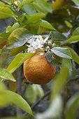 Orange tree in bloom and fruit in a garden