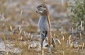South African Ground Squirrel - Botswana