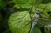 Emperor Dragonfly by vibrating its wings before flying