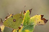 Clouded Yellow on Field Eryngo leaf - Aquitaine France