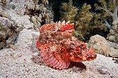 Flathead Scorpionfish on reef - Red Sea Egypt