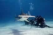 Great Hammerhead Shark and divers on sandy bottom - Bahamas