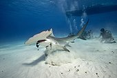 Great Hammerhead Shark and divers on sandy bottom - Bahamas ; Shark crunches system camera GoPro ®