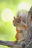 Eurasian Red Squirrel on a pine branch - Lapland Finland
