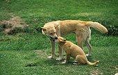 Dingo - Australia ; Dingo femelle et son petit - Australie