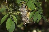 Variable Sunbird - Kenya ; Souimanga à ventre jaune femelle dans le nid - Kenya