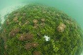 Jellyfish in a lake - Kakaban Island  Indonesia