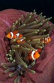 False clownfish in magnificent anemone - Komodo Indonesia
