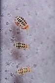 Ladybug amphipod - Komodo Indonesia  ; undescribed species