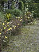 Common evening primroses in bloom on a garden terrace